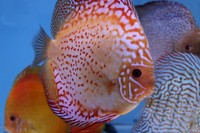 Discus for sale scotland at aquarist classifieds for Local koi fish for sale