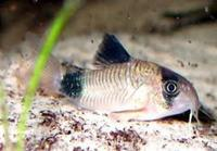 corydoras Panda � for 10