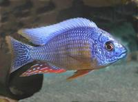 Wet Pets Solihull have yet again another fantastic offer of 20 Malawi Haps and Aulonacaras for sale. Please read post.
