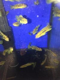A FANTASTIC OFFER FROM A FULLY LICENSED BREEDER OF 20 BEAUTIFUL MALAWI CICHLID JUVENILES FOR A GREAT PRICE. Please see list below.
