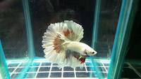 Aqua factor facebook page - High quality betta fish/ siamese fighter fish for sale, from �.00