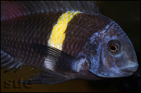 Tropheus Duboisi Maswa for sale