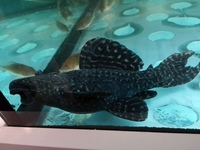 L numbers for sale west sussex l14 and l65x2 at aquarist for Baby koi fish for sale cheap
