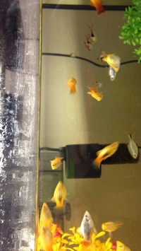 Sunset crossed with tuxedo platys for sale