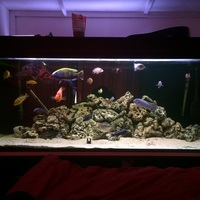 Malawi cichlids and ocean rock for sale or swap for predatry fish