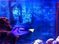 BLUE TANG / REGAL TANG XXL   Easter Half Term Special Price