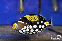 New Marine Fish Stock at Jessy Aquarium