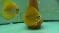 pair of golden crystal discus