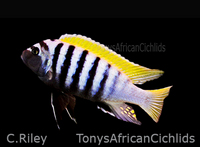 FREE WEEKDAY DELIVERY ON ORDERS OVER �0 from Tonys African Cichlids