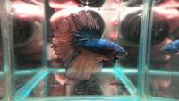 Aqua factor facebook page - amazing betta fish for sale, from �.50