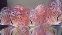 2016 PFK National Discus Retailer Of The Year DL Discus - SOLE UK Importers Of Some Of The Highest Quality Discus Not Only In The NorthEast But In The UK for Lawrence Soon (Lucky Tropical Fish Farm)