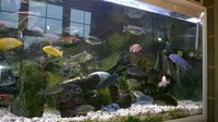 Some Stunning Malawi Cichlids For Sale