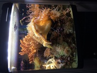 Clown fish, marine shrimps, inverts in reef setup �0