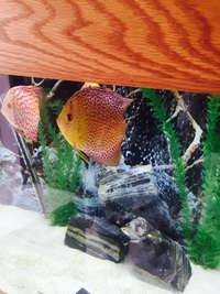 6 discus for sale