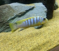 MALAWI CICHLIDS HARLOW ESSEX MBUNA PEACOCKS HAPS JUVI ADULT SALE