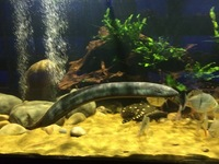 Fish livestock list updated 31/08/18 World of Water Crawley, West Sussex (APC delivery available)