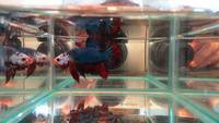 aqua factor facebook page - stunning male betta fish for sale