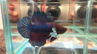 MALE BETTA FISH, TONIGHT UP TO HALF PRICE, MANY JUST �50