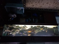 6ft Tank with Malawi Cichlids and extras - �5ono