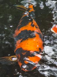 Fish for sale at aquarist classifieds for Hi utsuri koi for sale