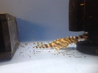 Wild Caught L015 Candy Stripe Plecs wild cought