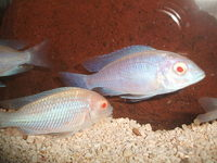 Malawi and Tanganyikan Cichlids at In-expensive Prices.