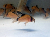 Guppies, Platys, Plecs, Angels etc please see our full stock list