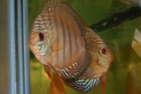 DISCUS PAIRS IN STOCK AT CHILTON AQUATICS FROM ONLY �0 PAIR