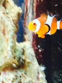 Marine fish for sale at aquarist classifieds for Purple koi fish for sale