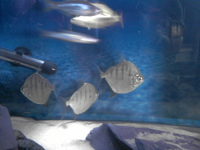 Metynnis fasciatus striped silver dollar north east at for Silver dollar fish for sale
