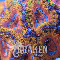Kraken Corals, Great range of Rainbow Acans, Zoanthids and other LPS Coral