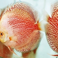 NEW SHIPMENT READY NOW - MARCH/APRIL @ DL Discus, THE SOLE UK Importers Of Some Of The Highest Quality Discus Not Only In The NorthEast But In T