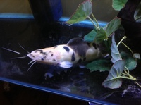 Clarias catfish walking catfish 9/10inch fish �