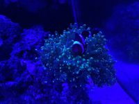 Quality Corals, Inverts and Marine Fish in Fluval M60 for Sale �0 Bargain