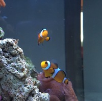True pair of percula clown fish � ROTHERHAM