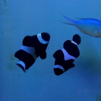 Pair of black and white clown fish