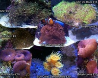 Corals, frags marine for sale