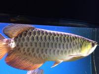 Crossback 24K Golden Arowana Fish �00