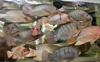 live Nile tilapia fingerlings from London uk Aquarist ad 1