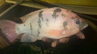 Live Nile tilapia/catfish Fingerlings, for uk Aquaponics systems.