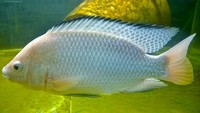 Nile Tilapia (Oreochromis Niloticus) Tilapia Fingerling s for Aquaponics. 1-2cm �10p each