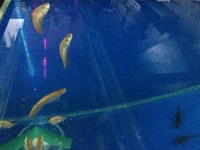 Albino golden clown knife fish at Aquarist Classifieds Albino Clown Knife Fish