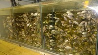 TILAPIA OREOCHROMIS Niloticus (Fingerlings) live over night delivery to uk. Aqua ad 2