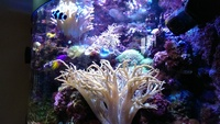 Live corals, Inverts, Live rock, in Complete Marine Tank