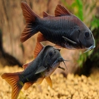 WANTED BLACK CORYDORAS