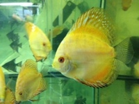 NORTH EAST DISCUS AT CHILTON AQUATICS. SIMPLY THE BEST PRICES FROM AN ESTABLISHED FAMILY RUN RETAILER