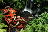 Koi Rescue / Rehoming / Pond Clearance - Kent / SE London / Essex...