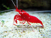 Marine Fire Shrimps For Sale ONLY �.50 EACH