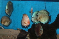 Variety of Quality Discus For Sale