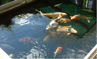 KOI RESCUE SERVICE MIDLANDS Koi,goldfish,rescue/re-homing FREE